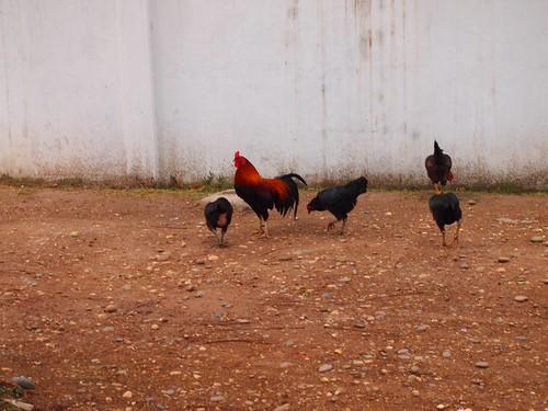 ビエンチャンを歩く鶏