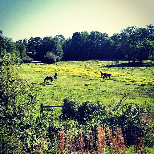 Horses in crotellaria meadow #yellow #iphoneography