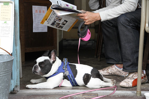 French Bulldog Chikuwa at cafe
