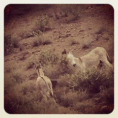 On our way out & saw these two. #wild #burros #lake #lakepleasant