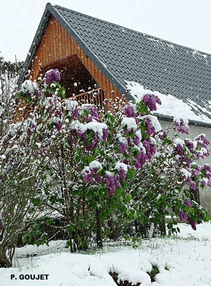lilas en fleurs sous la neige en Ariège le 4 mai 2010 météopassion