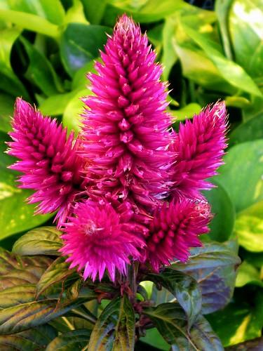 Amaranto de jardín. Celosía argentea var: plumosa