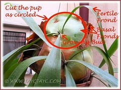 Propagating a Staghorn Fern (Platycerium bifurcatum) - June 20 2012
