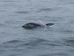 common bottlenose dolphin(0.0), short-beaked common dolphin(0.0), grey whale(0.0), spinner dolphin(0.0), humpback whale(0.0), animal(1.0), marine mammal(1.0), whale(1.0), sea(1.0), dolphin(1.0), striped dolphin(1.0),