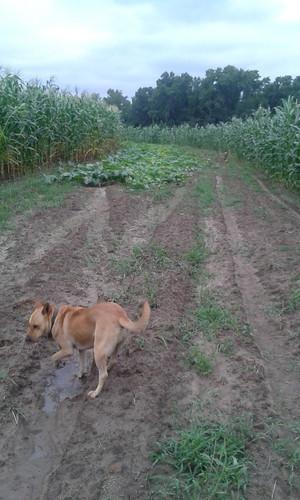 Yellow Dog and Brown Dog