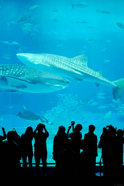 ジンベエザメ / Whale shark