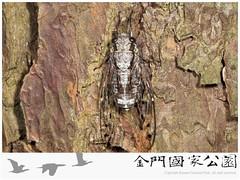 大姬蟬-01(雄蟲).jpg