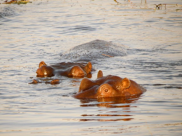 Hippo-eyes-in-water