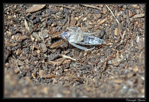 Foumilion (Myrmeleontidae)
