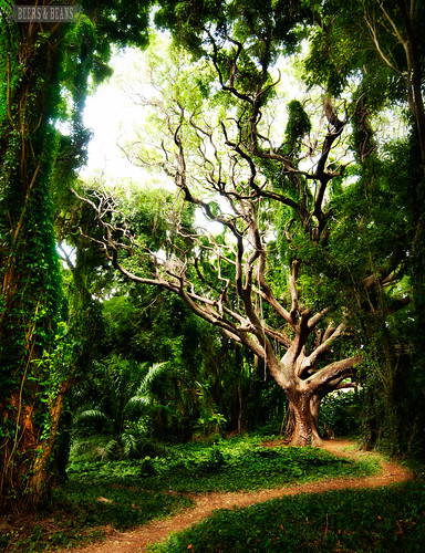Maui-tree-1-sfb
