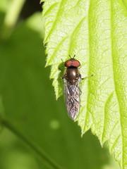 Melanostoma scalare? (Syrphidae), ♂ from Slovakia