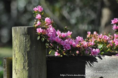 Azalea by the gatepost