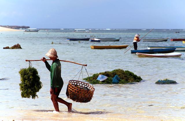 Harvesting Seaweed, Bali