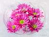 Circle of Life - Gerbera Daisies