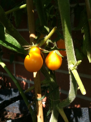 yellow pear-shaped tomatoes
