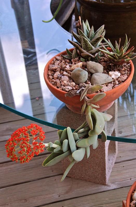 Crassula perfoliata subsp. falcata
