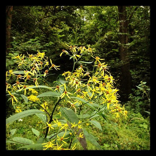 #eifel #germany #yellow #flowers