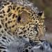 Amur leopard by San Diego Zoo Global