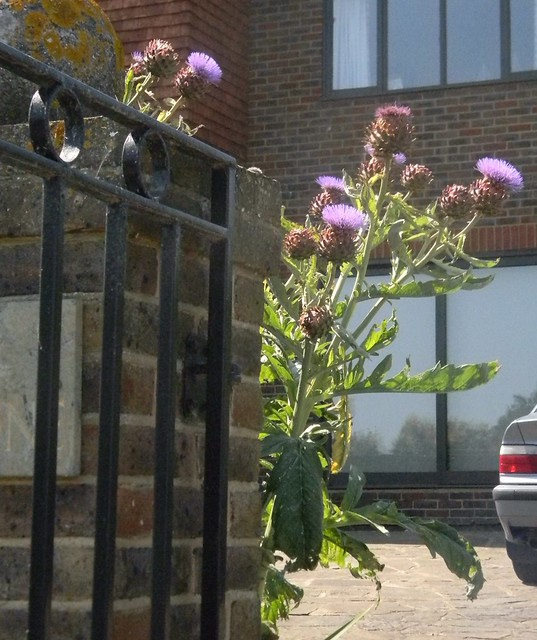 A cardoon - poised to attack