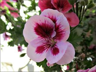 Pink viola