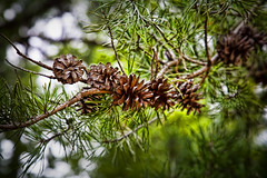 fauna(0.0), larch(1.0), flower(1.0), branch(1.0), pine(1.0), leaf(1.0), tree(1.0), nature(1.0), macro photography(1.0), flora(1.0), close-up(1.0), conifer cone(1.0), fir(1.0), spruce(1.0), twig(1.0),