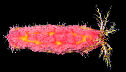 Pink-orange sea cucumber (Cercodemas anceps)