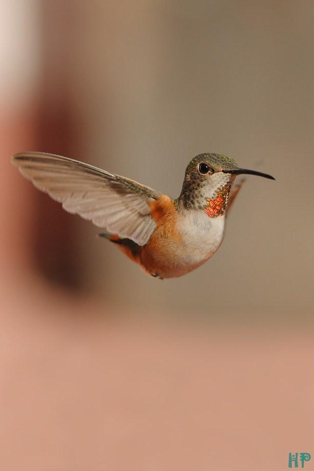 Allen's Hummingbird 110812-3