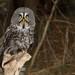 Great Grey Owl II by martinaschneider