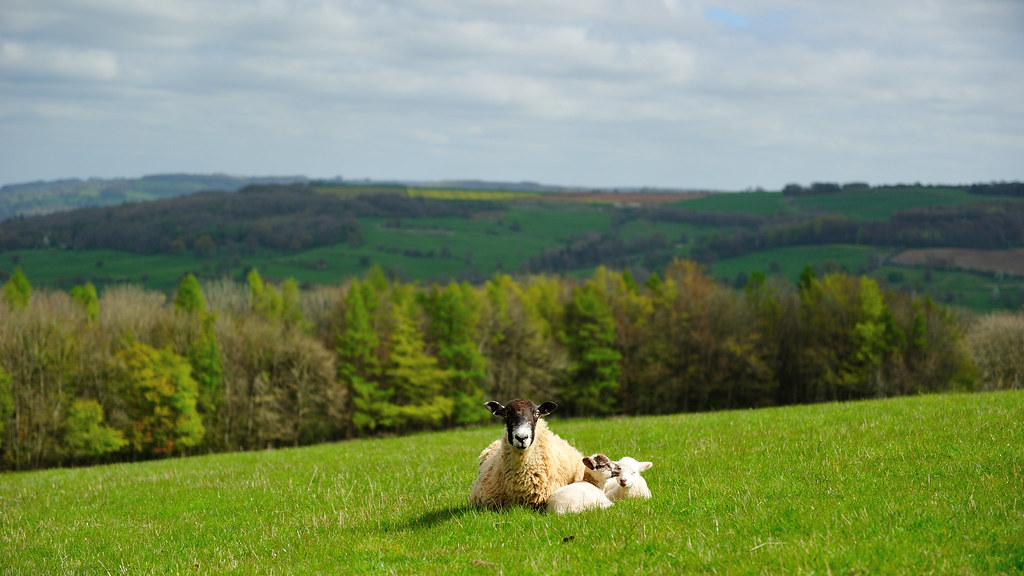 Sheep in Cotswolds