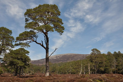 Derry pines and Beinn Bhreac