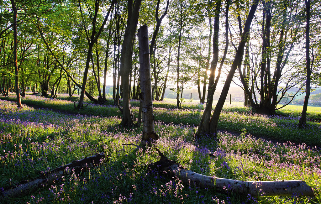 Evening in a Bluebell Wood