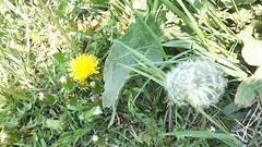 garden(0.0), thistle(0.0), food(0.0), silybum(0.0), artichoke thistle(0.0), dandelion(1.0), flower(1.0), plant(1.0), wildflower(1.0), flora(1.0), produce(1.0),