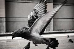 #DailyPigeon 050216 #instaDFW #UrbanWildlife #pigeon #Dallas