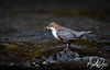 White Throated Dipper 2