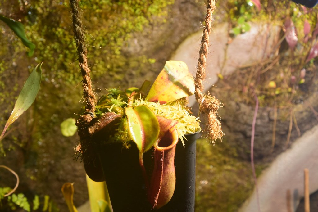 Nepenthes Canada fly :D