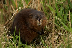 animal, grass, rodent, nature, fauna, muskrat, whiskers, beaver, wildlife,