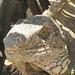 amazing iguana face