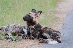 louisiana catahoula leopard dog(0.0), pet(0.0), street dog(0.0), hyena(0.0), australian cattle dog(0.0), dog breed(1.0), animal(1.0), dog(1.0), mammal(1.0), lycaon pictus(1.0),