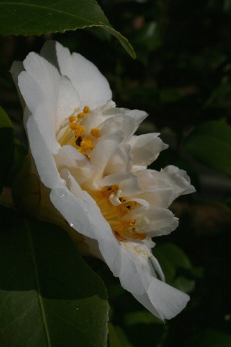 CamelliaMarch2012