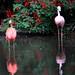 Flamingos rosa e vermelho- Foto: Rê Sarmento