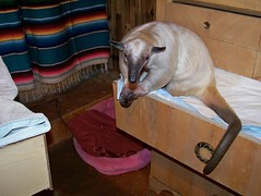 Pua tamandua in a drawer