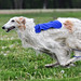 Borzoi by JaderBug Photography