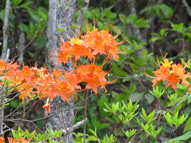 IMG_4883_Orange_Flowers_on_Teaberry_Mountain