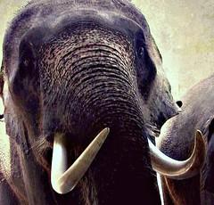 THAILAND, Elefanten+Orchideen