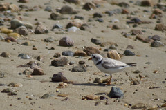 20120620 - Piping Plovers