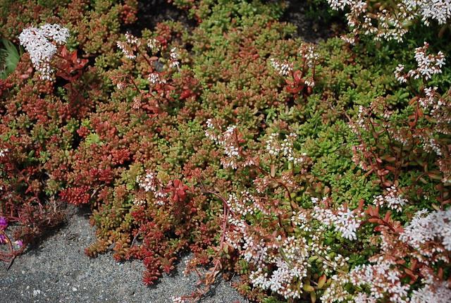 Sedum album 39 coral carpet 39 flr flickr photo sharing - Sedum album coral carpet ...