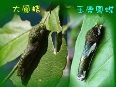 圖2:圖二:許多種類的鳳蝶幼蟲在終齡以前外觀貌似鳥糞,圖為大鳳蝶、玉帶鳳蝶四齡幼蟲的外觀。