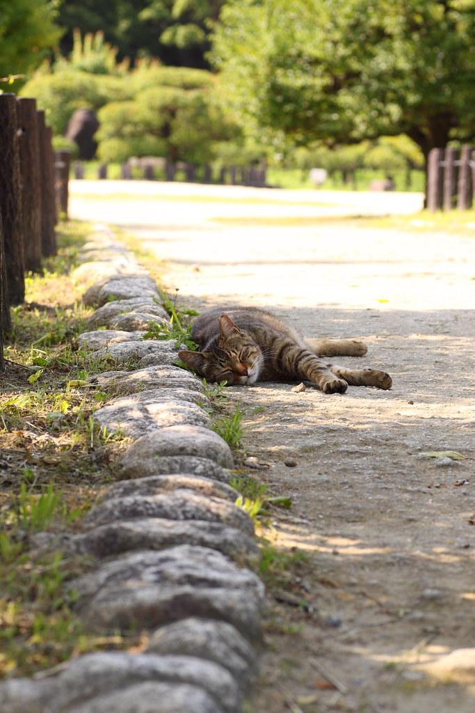 真夏の朝 キジトラ猫1