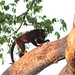 Small photo of Alouatta discolor, Spix's Red-handed Howler