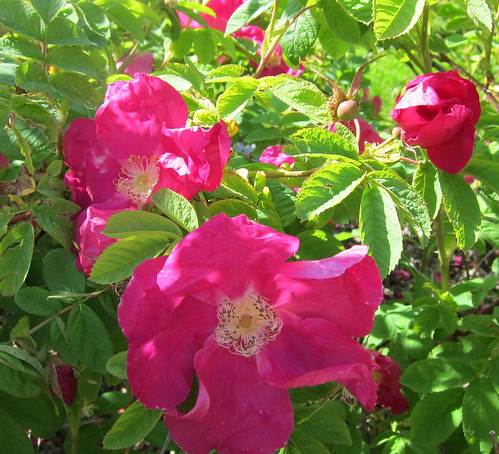 Rosa Gallica by Anna Amnell